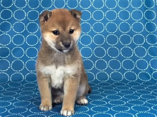 柴犬の子犬(ID:1262511444)の2枚目の写真/更新日:2017-12-09