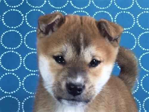 柴犬の子犬(ID:1262511445)の1枚目の写真/更新日:2017-12-09