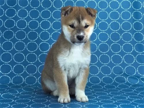 柴犬の子犬(ID:1262511445)の2枚目の写真/更新日:2017-12-09