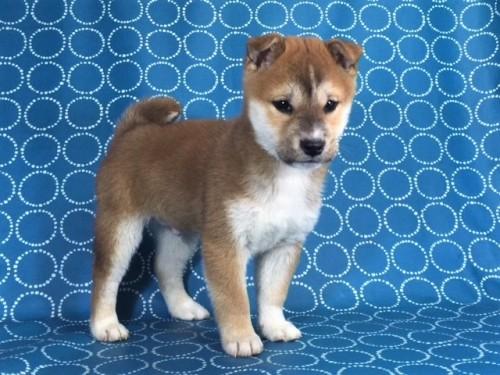 柴犬の子犬(ID:1262511445)の3枚目の写真/更新日:2017-12-09