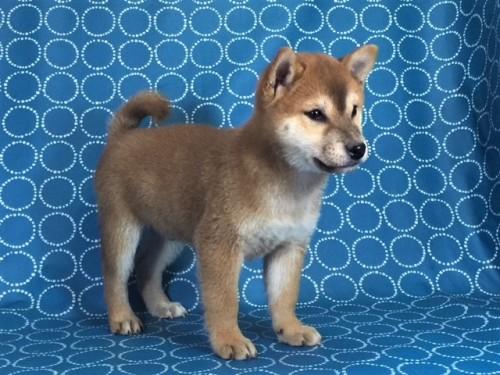 柴犬の子犬(ID:1262511446)の2枚目の写真/更新日:2017-12-09