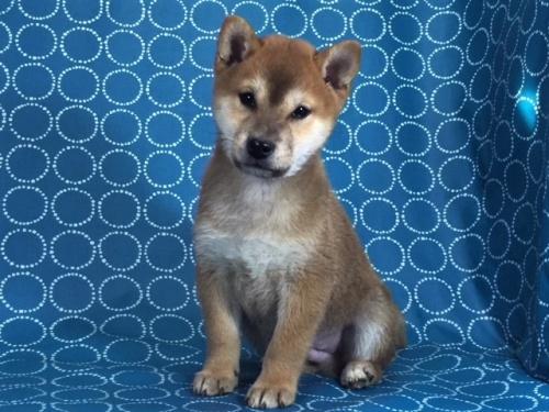 柴犬の子犬(ID:1262511446)の3枚目の写真/更新日:2017-12-09