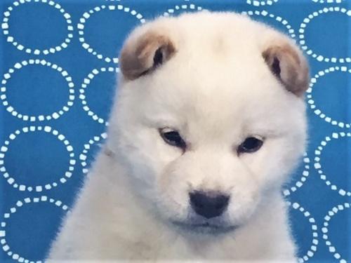 柴犬の子犬(ID:1262511447)の1枚目の写真/更新日:2017-12-08