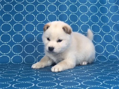 柴犬の子犬(ID:1262511447)の2枚目の写真/更新日:2017-12-08