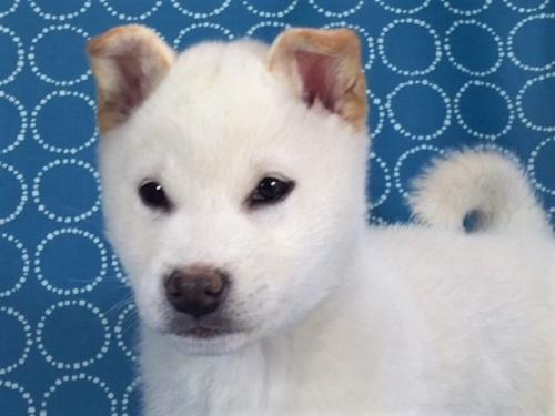 柴犬の子犬(ID:1262511448)の1枚目の写真/更新日:2018-01-01