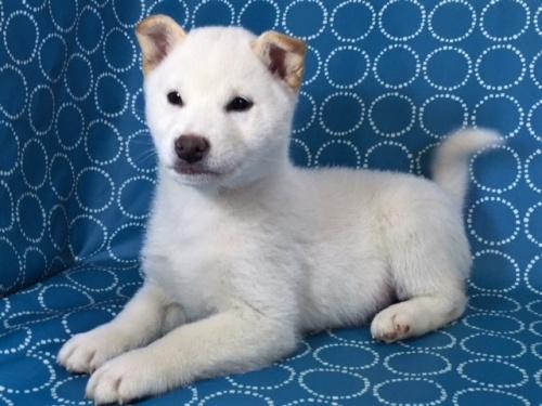 柴犬の子犬(ID:1262511448)の2枚目の写真/更新日:2017-12-08