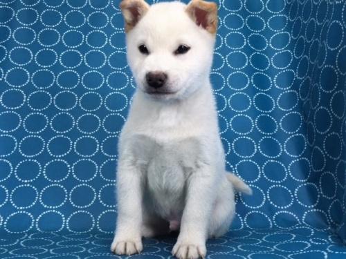 柴犬の子犬(ID:1262511448)の3枚目の写真/更新日:2017-12-08