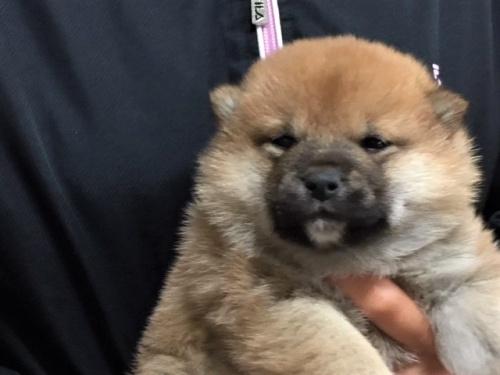 柴犬の子犬(ID:1262511449)の1枚目の写真/更新日:2017-12-01