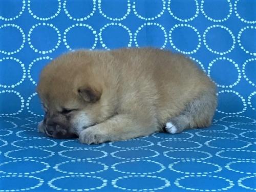 柴犬の子犬(ID:1262511449)の2枚目の写真/更新日:2017-12-01