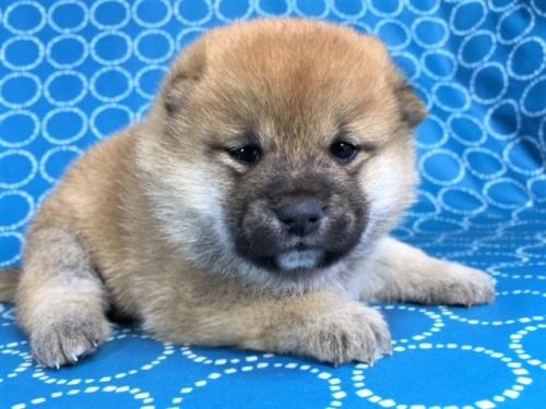 柴犬の子犬(ID:1262511449)の3枚目の写真/更新日:2017-12-01