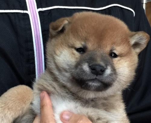 柴犬の子犬(ID:1262511450)の1枚目の写真/更新日:2017-12-07