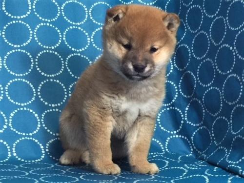 柴犬の子犬(ID:1262511450)の2枚目の写真/更新日:2017-12-07