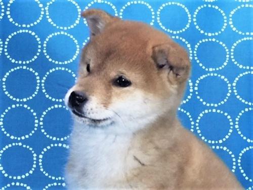 柴犬の子犬(ID:1262511451)の2枚目の写真/更新日:2017-12-07