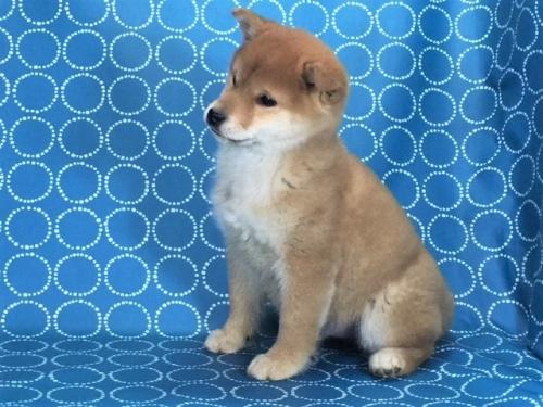 柴犬の子犬(ID:1262511451)の3枚目の写真/更新日:2017-12-07