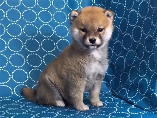 柴犬の子犬(ID:1262511452)の2枚目の写真/更新日:2017-12-18