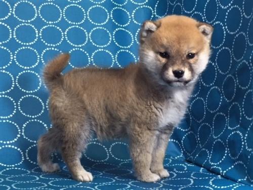 柴犬の子犬(ID:1262511452)の3枚目の写真/更新日:2017-12-18