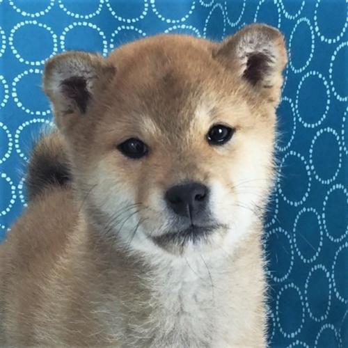 柴犬の子犬(ID:1262511453)の1枚目の写真/更新日:2018-01-10