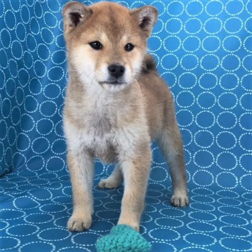 柴犬の子犬(ID:1262511453)の4枚目の写真/更新日:2018-02-11