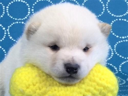 柴犬の子犬(ID:1262511454)の1枚目の写真/更新日:2017-12-20