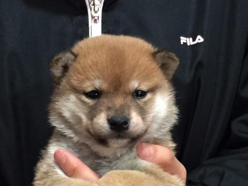 柴犬の子犬(ID:1262511456)の1枚目の写真/更新日:2018-01-07
