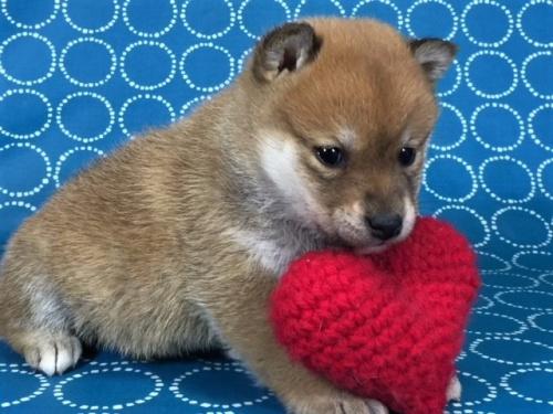 柴犬の子犬(ID:1262511456)の3枚目の写真/更新日:2018-01-07