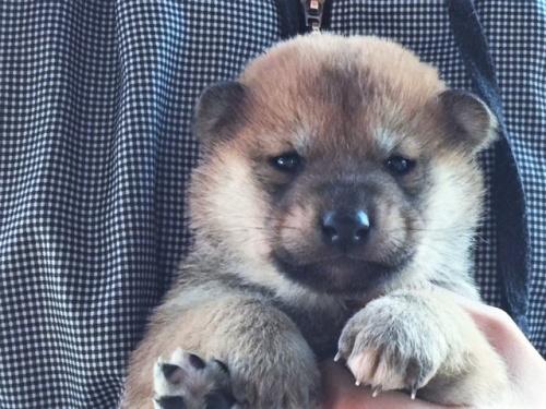 柴犬の子犬(ID:1262511457)の1枚目の写真/更新日:2017-12-27