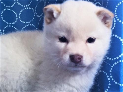 柴犬の子犬(ID:1262511458)の1枚目の写真/更新日:2018-01-18