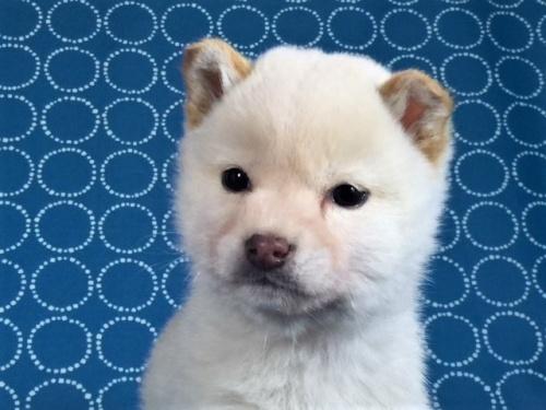 柴犬の子犬(ID:1262511458)の2枚目の写真/更新日:2018-01-18