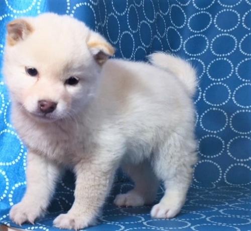 柴犬の子犬(ID:1262511458)の4枚目の写真/更新日:2018-01-18