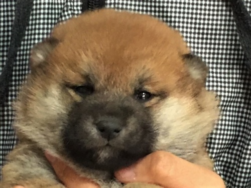 柴犬の子犬(ID:1262511460)の1枚目の写真/更新日:2017-12-27