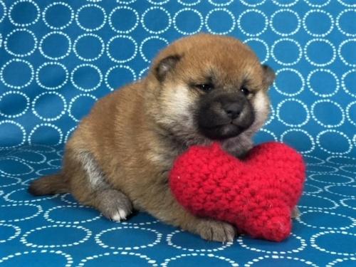 柴犬の子犬(ID:1262511460)の2枚目の写真/更新日:2017-12-27