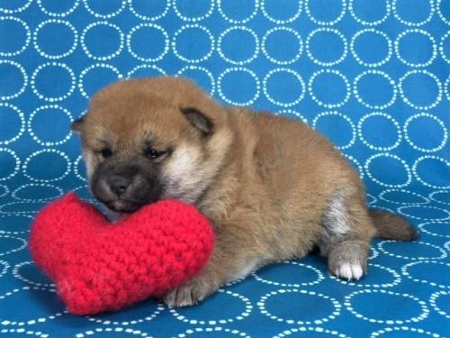 柴犬の子犬(ID:1262511460)の3枚目の写真/更新日:2017-12-27
