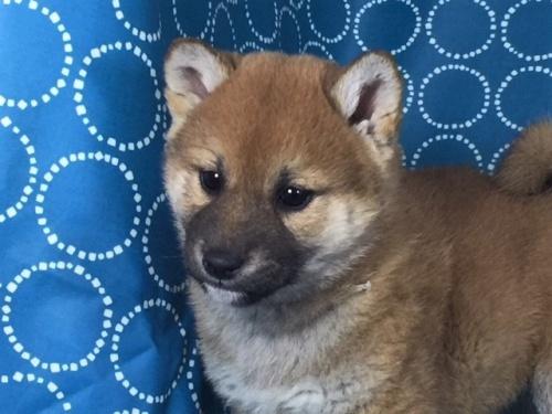 柴犬の子犬(ID:1262511461)の1枚目の写真/更新日:2018-01-19