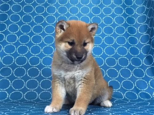 柴犬の子犬(ID:1262511461)の3枚目の写真/更新日:2018-01-19