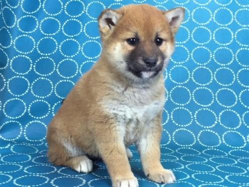 柴犬の子犬(ID:1262511461)の4枚目の写真/更新日:2018-01-19