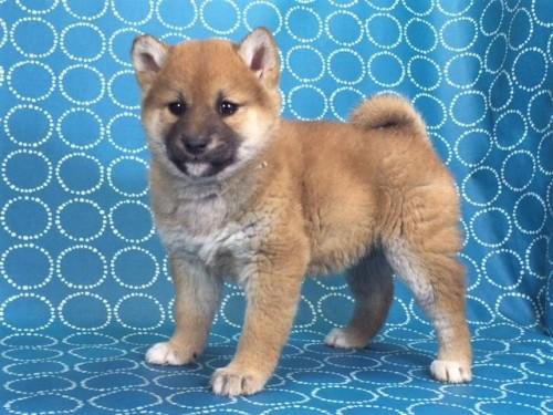 柴犬の子犬(ID:1262511461)の5枚目の写真/更新日:2018-01-19