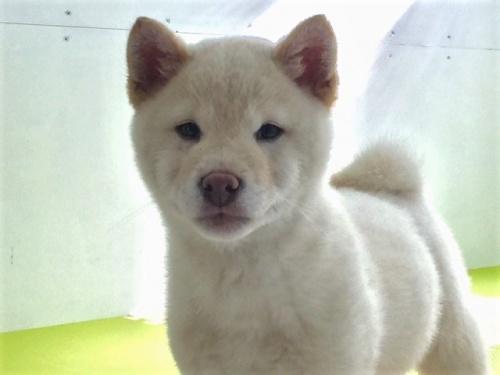 柴犬の子犬(ID:1262511462)の1枚目の写真/更新日:2018-01-10