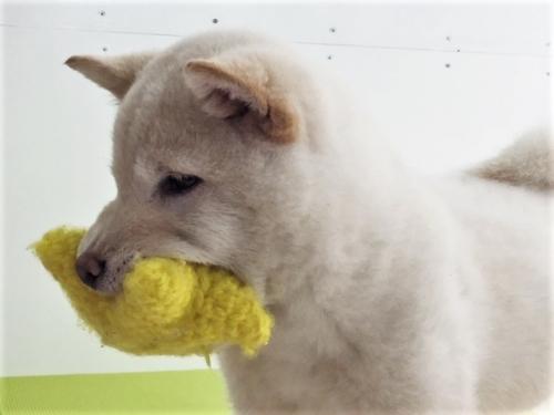 柴犬の子犬(ID:1262511462)の2枚目の写真/更新日:2018-01-10