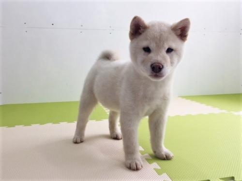 柴犬の子犬(ID:1262511462)の3枚目の写真/更新日:2018-01-10