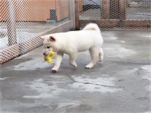 柴犬の子犬(ID:1262511462)の4枚目の写真/更新日:2018-02-22
