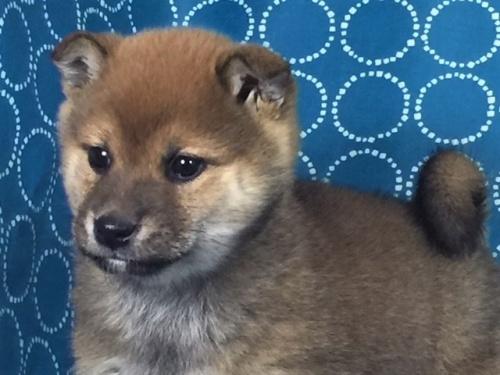 柴犬の子犬(ID:1262511465)の1枚目の写真/更新日:2018-01-17