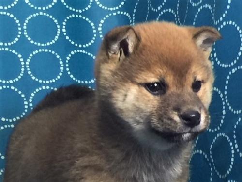 柴犬の子犬(ID:1262511465)の2枚目の写真/更新日:2018-01-17
