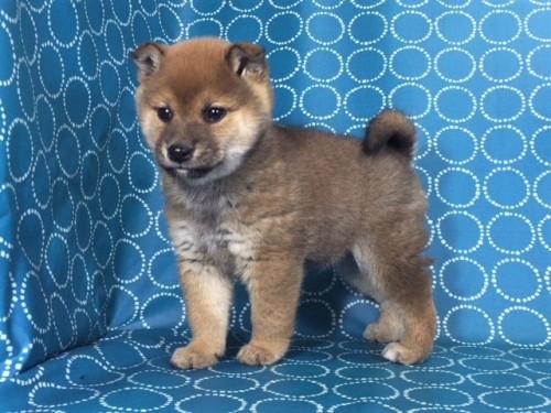 柴犬の子犬(ID:1262511465)の5枚目の写真/更新日:2018-01-17