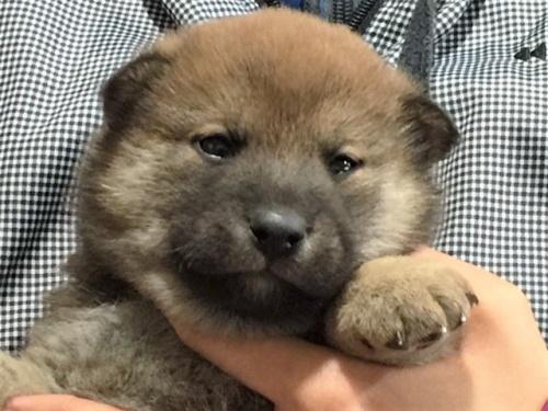 柴犬の子犬(ID:1262511466)の1枚目の写真/更新日:2018-01-06