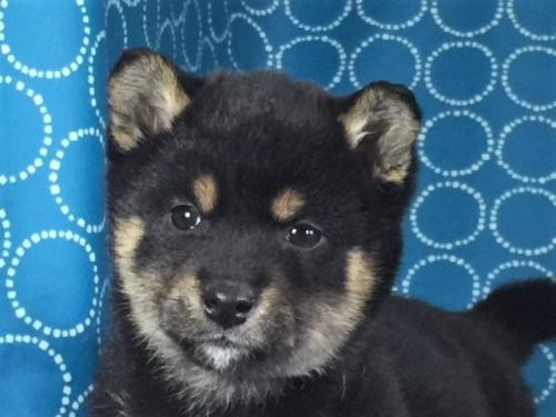 柴犬の子犬(ID:1262511467)の1枚目の写真/更新日:2018-01-18