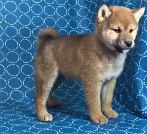 柴犬の子犬(ID:1262511469)の2枚目の写真/更新日:2018-01-20