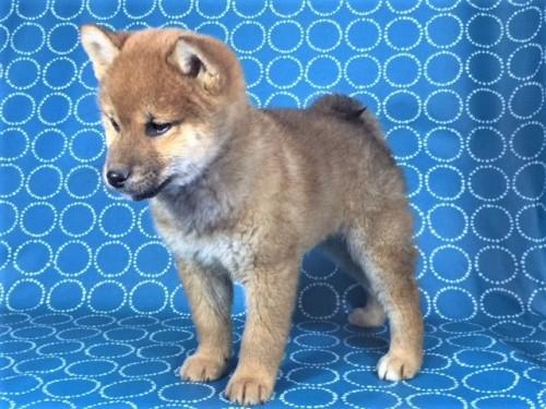 柴犬の子犬(ID:1262511469)の3枚目の写真/更新日:2018-01-20