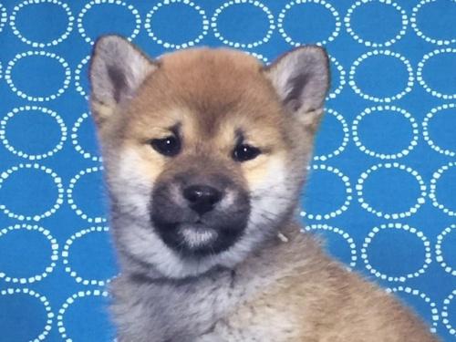 柴犬の子犬(ID:1262511470)の1枚目の写真/更新日:2018-01-20