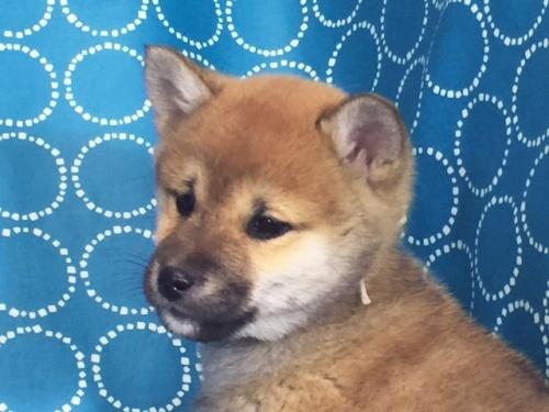 柴犬の子犬(ID:1262511470)の2枚目の写真/更新日:2018-01-20