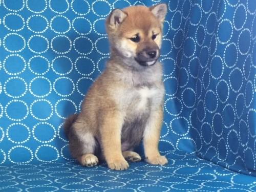 柴犬の子犬(ID:1262511470)の4枚目の写真/更新日:2018-01-20